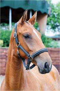 Photo cheval a vendre OKLAHOMA DE LA GESSE